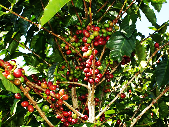 Coffee beans in plant