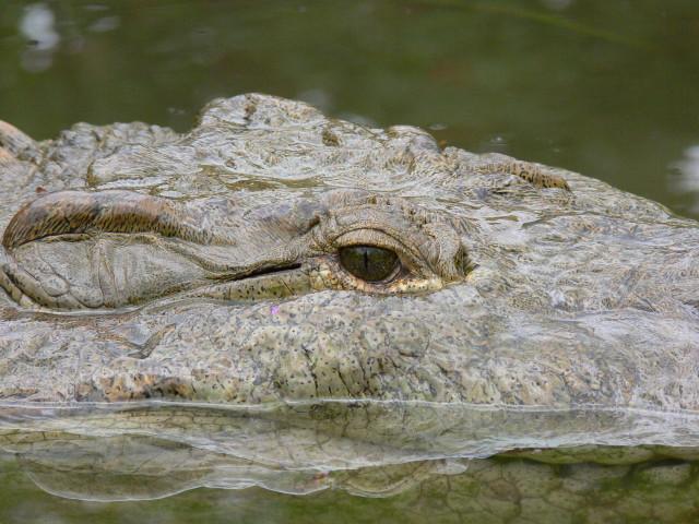 American Crocodrile 3