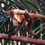 Spider-Monkey-2