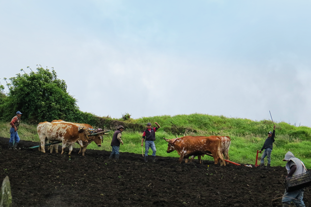 Oxen and plows