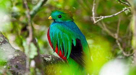 Resplendent Quetzal (Photo taken at El Mirador de Quetzales)