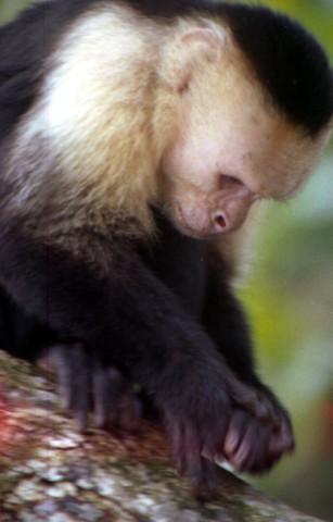 Capuccin Monkey in Manuel Antonio (Photo by Olga Sáenz)