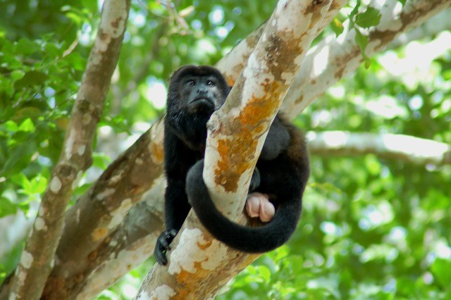 A mantled howler monkey in Costa Rica rests its massive testicles on a tree branch. Mantled howler monkeys have the largest testicles and softest calls of any species of howler monkey.