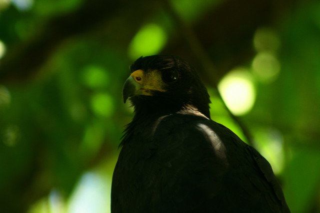 Crab Eating Hawk (Photo by Olga Sáenz-Carbonell)