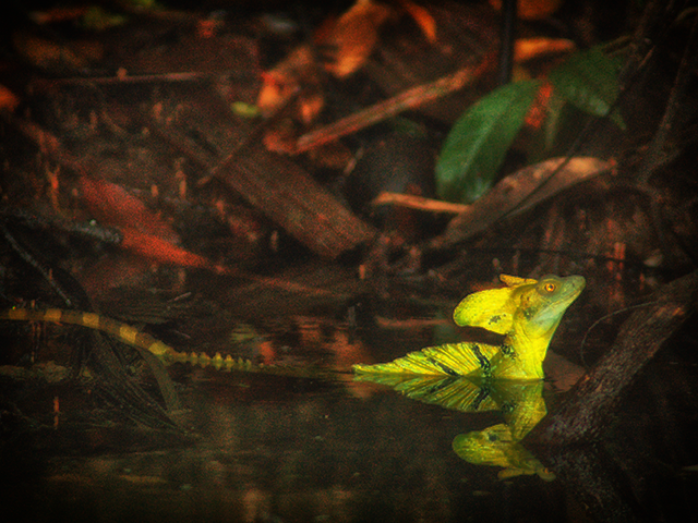 Emerald Basilisk in the rainforests of Costa Rica