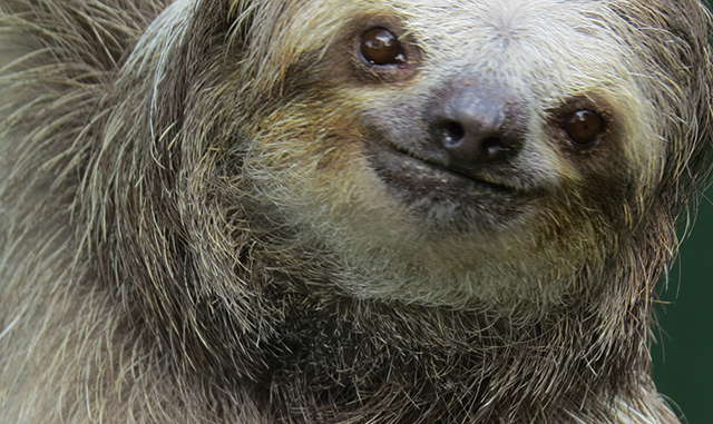 Animals in Costa Rica - Three toed sloths