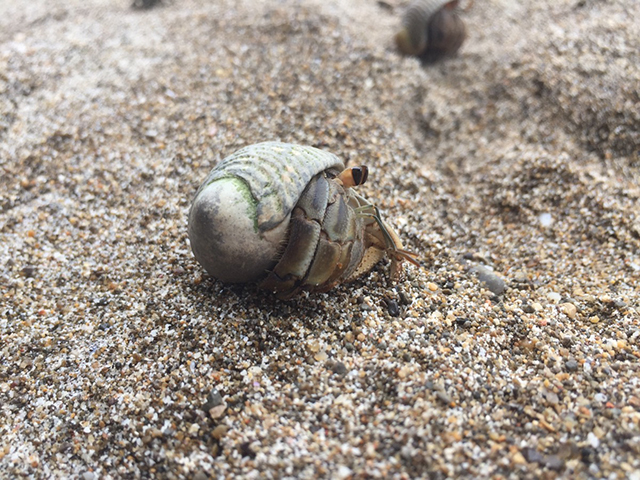 Hermit Crabs in Costa Rica Southwest