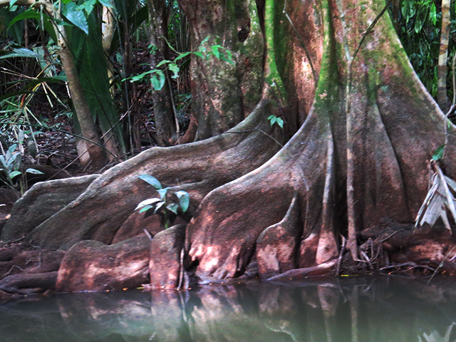 Tree roots in Tortuguero
