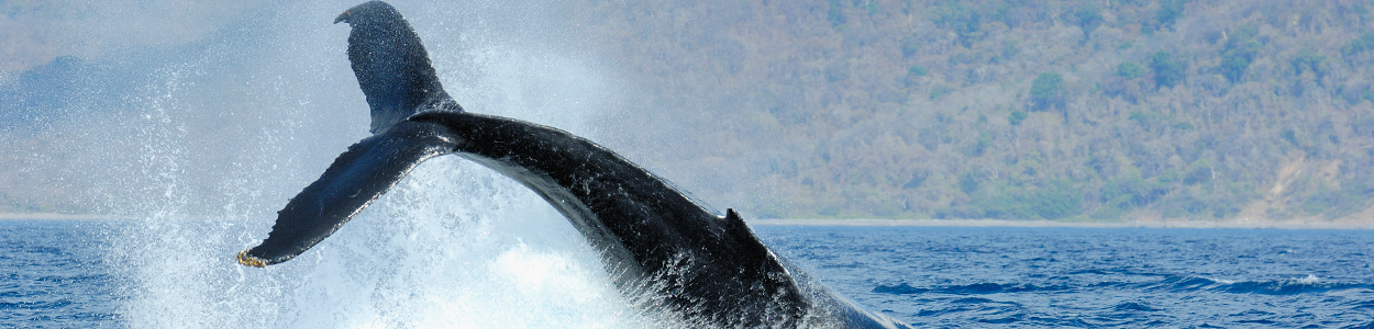 diving whale tale, Costa Rica