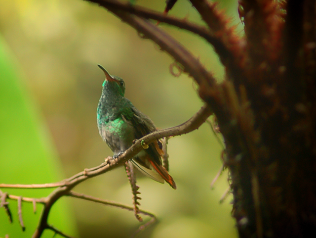 Hummingbird in the rainforests of Costa Rica