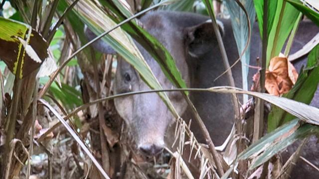 Animals in Costa Rica Tapir