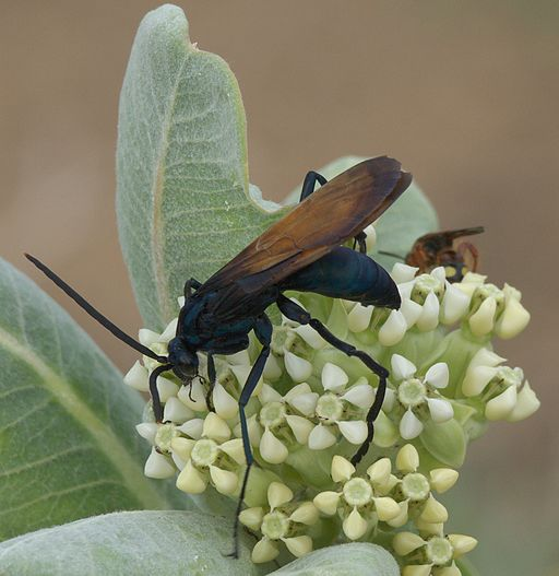Tarantula Hawk -Costa Rica Insects