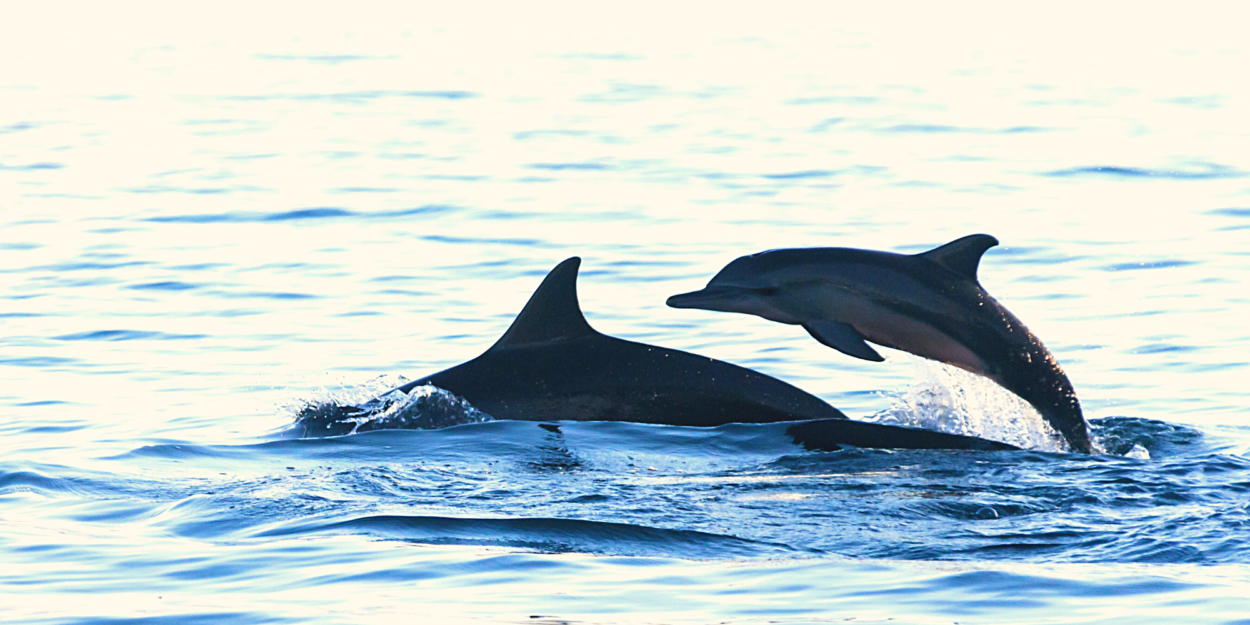 Two dolphins jumping from the water