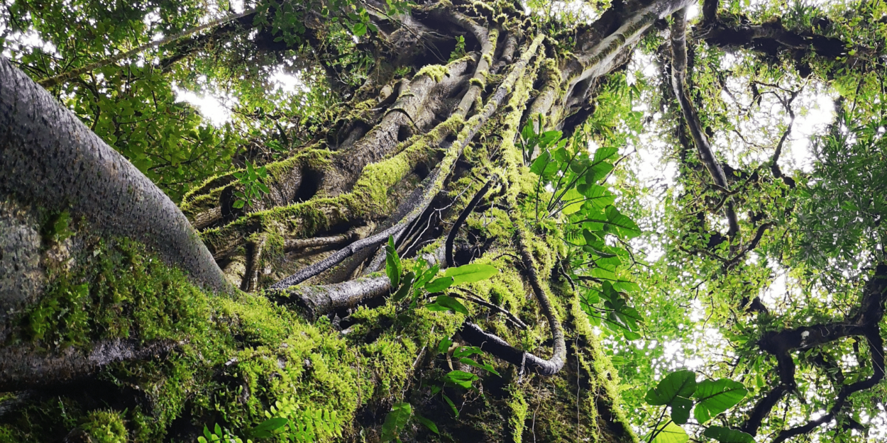 An ancient, huge tree, from ground up
